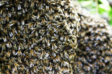 Honey Bees Effected by Solar Storm   In Compliance Magazine